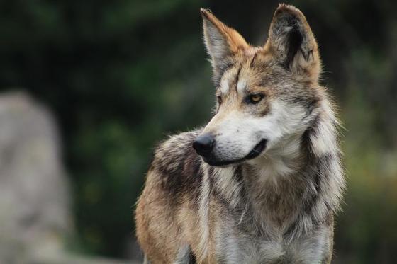 wolf-1879179_960_720.jpg
